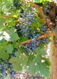 Merryvale grapes